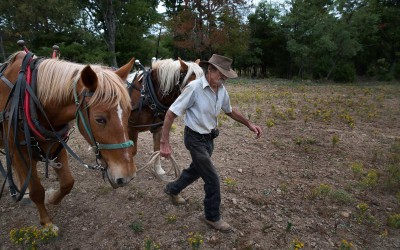 Madison County, Arkansas:   Richard Courteau uses his neighbor's old, experienced mare, left, to train her green partner to work in harness.