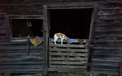 Madison County, Arkansas: Neighbors of the Whites say their place was once farmed with mules. The Whites built most structures on the property since they bought it two years ago, but kept this shed, previously a kennel for hunting hounds. Inside, Ira milks a cow as a cat plays on the gate.