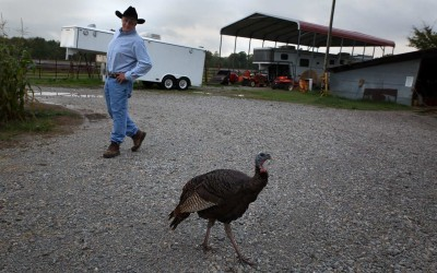 Elkins, Arkansas:  Orthodontist and bison rancher Tom Lowder rescued two wild turkey eggs from an abandoned nest on his property. Once the turkeys hatched, they opted to stay on his place.