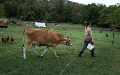 Fayetteville, Arkansas:  Mariah White is followed by Scarlett, the jersey cow kept to produce milk for the household. The family makes some of the milk into butter and ricotta cheese.