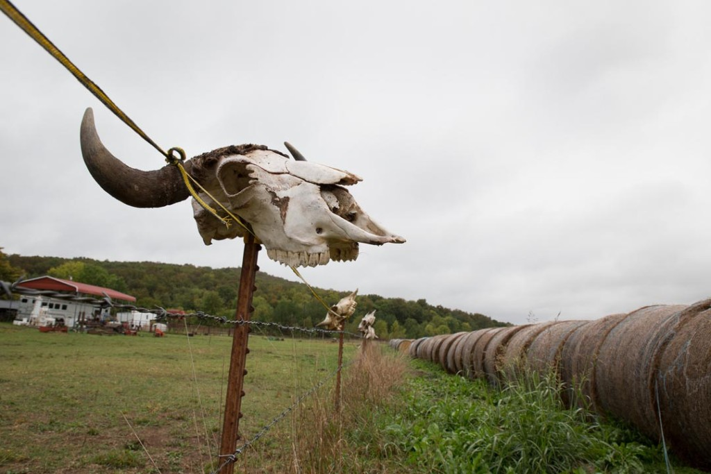 Madison County, Arkansas: Bison skulls from Dr. Tom Lowder's herd mark his fence.