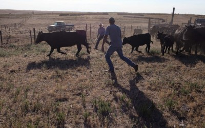 Hay Springs, Nebraska.August 29, 2012..Cattle ranchers work to seperate cows from their calves in order to give the young animals immunity shots against common diseases.