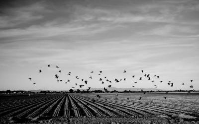 Surprise, Arizona. USA 2013 -  Birds fly through crops in Surprise Arizona.