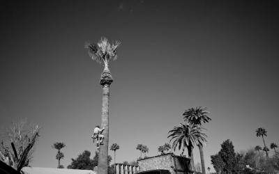 Phoenix , Arizona. USA 2013 -  A Day Laborer climbs down from a tall palm tree. Day Laborers make about $60 to $100 per tree. Most of the workers don't have insurance and they have to buy their own trucks and equipment. .Almost all the day laborers started working in the fields picking crops , planting and cleaning fields.  Almost all the day laborers in Arizona are Mexican workers.